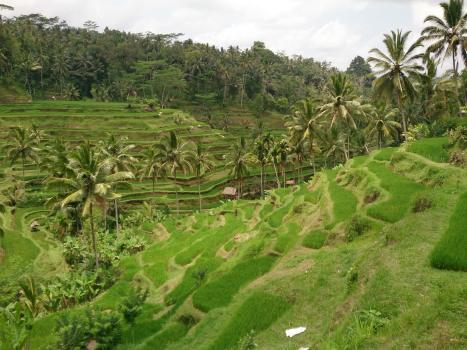 The rice fields of Ubud ... Very famous spot among tourists. Very well maintained I must say ...